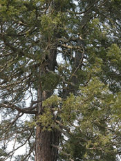 Giant Sequoia Photo
