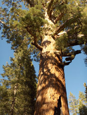 Giant Sequoia Photograph