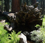 Giant Sequoia Tite