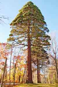Tree Picture, Giant Sequoia Picture