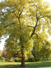 Golden Ash Tree