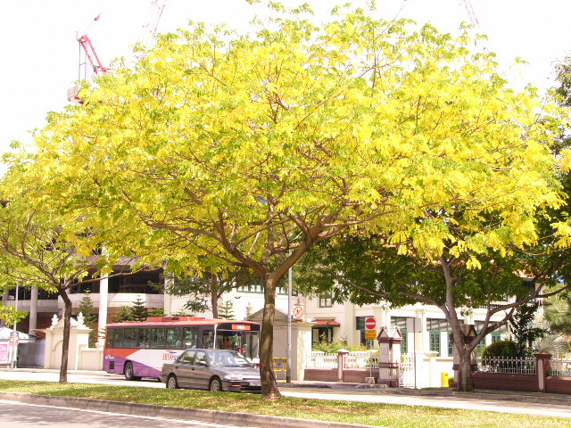 Golden Rain Tree Pictures Detailed Information on the Golden Rain