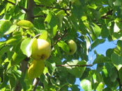 goru pear tree