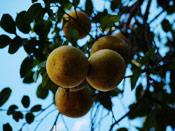 Grapefruit Tree Image