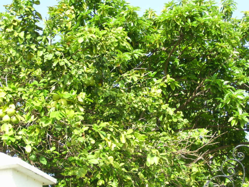 grapefruit tree pictures, information on grapefruit trees, Natural flower