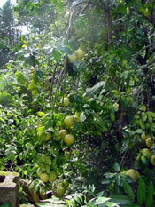 Grapefruit Tree Photo