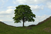 green sycamore tree