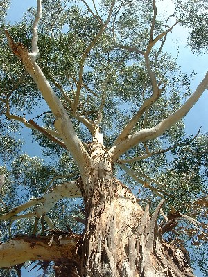 Lovely Gum Tree Eucalyptus Free Stock Photos Australia Flowers
