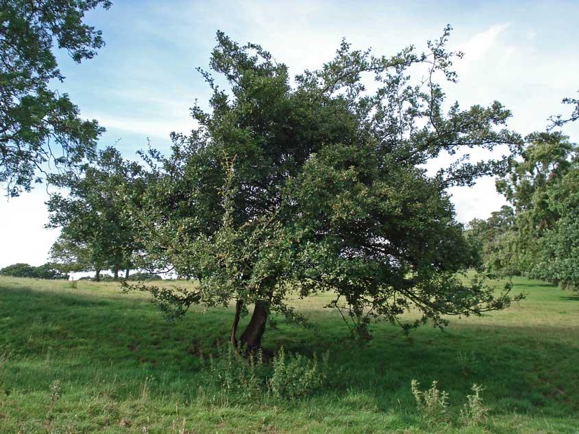Hawthorn Tree Thorns Hawthorn Tree Photos Gallery