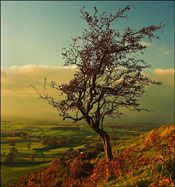 Hawthorn Tree Picture