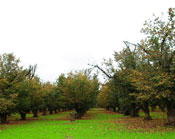 Hazelnut Orchard