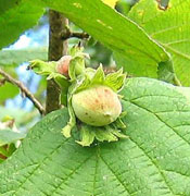 Hazelnut Tree Picture