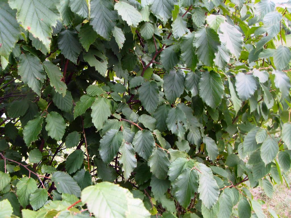 American Hazelnut Bush