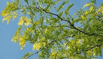 Honey Locust Tree