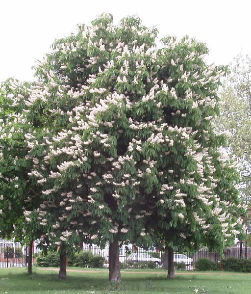 Horse Chestnut Tree Pictures Facts on the Horse Chestnut Tree Species