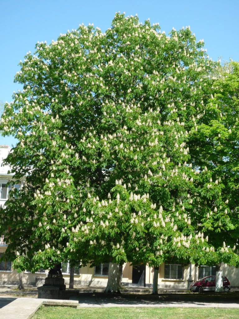 Horse chestnut tree pictures facts on the horse chestnut for The chestnut