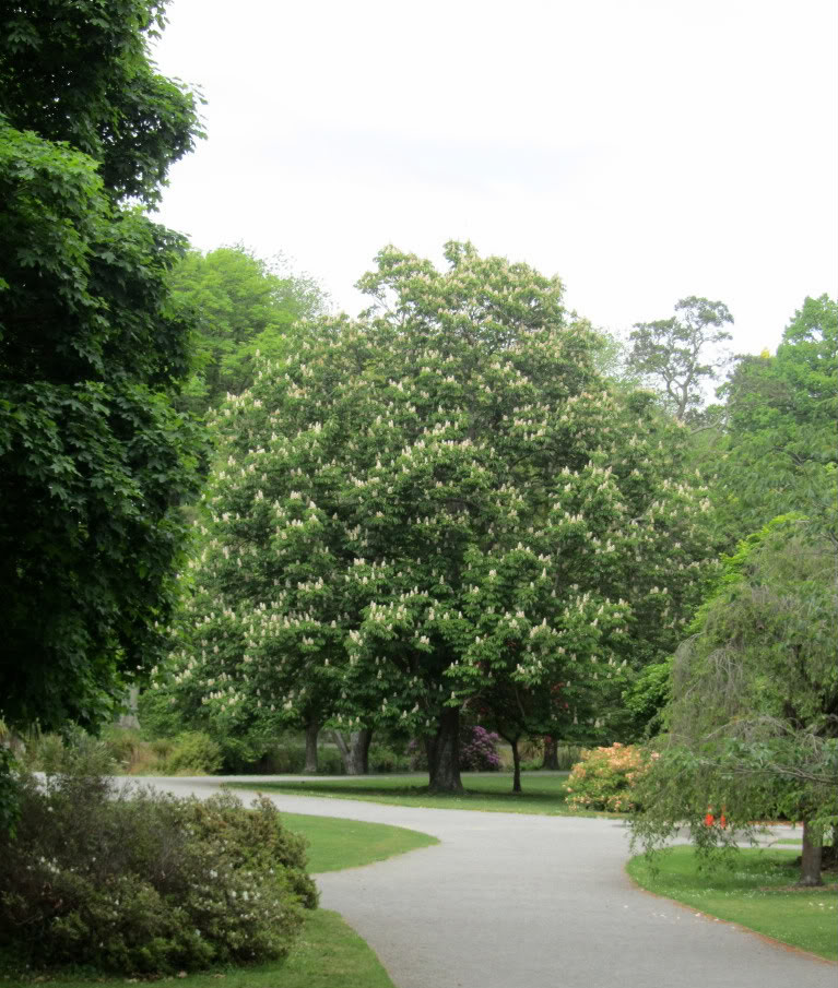 Horse chestnut tree pictures info on the horse chestnut trees for The chestnut