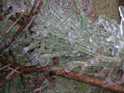 Pine Tree Pictures: Iced pine tree needles