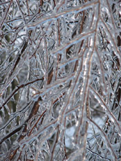 Icy Birch Tree
