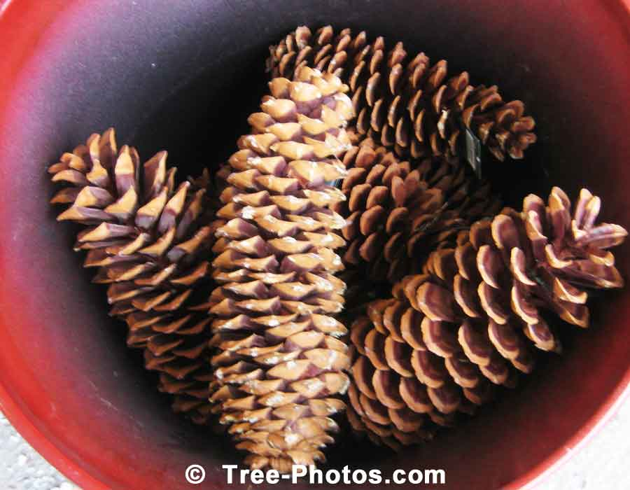 large pine cones can be used for christmas decorations and craft ideas - Decorating Large Pine Cones For Christmas