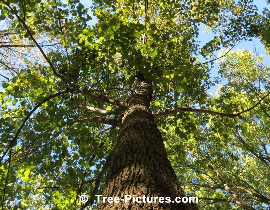 American Beech: Mature American Beech Tree in the Forest