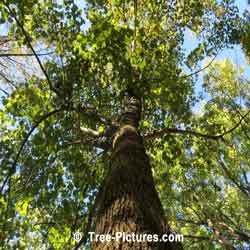 Beech Tree Pictures: Mature American Beech Tree in the Forest