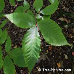 Américaine Beech Tree Images: New Beech Tree Feuille & Leaves