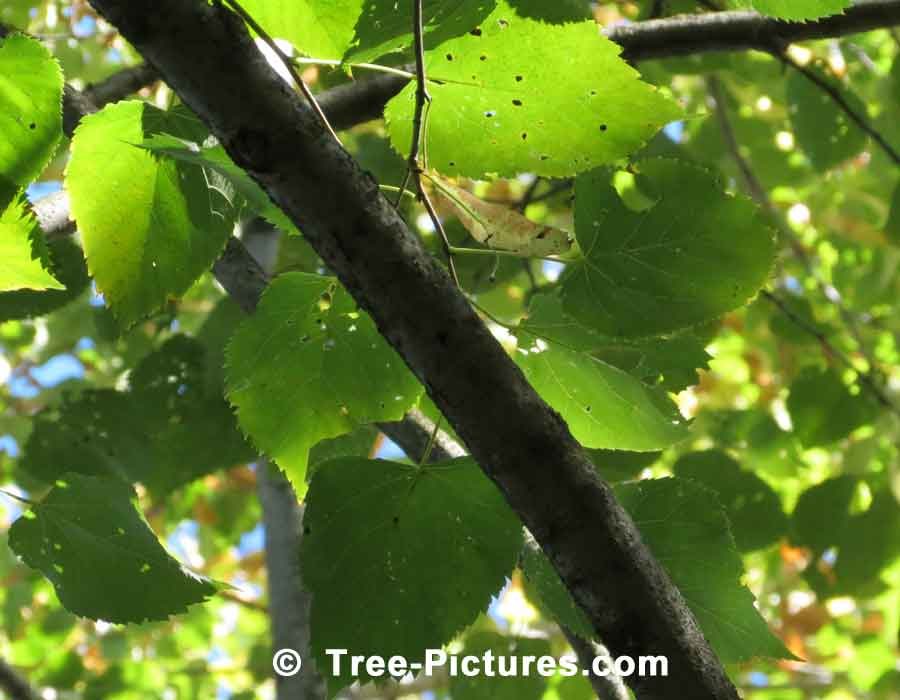 American Beech: Beech Tree Leaves & Branches