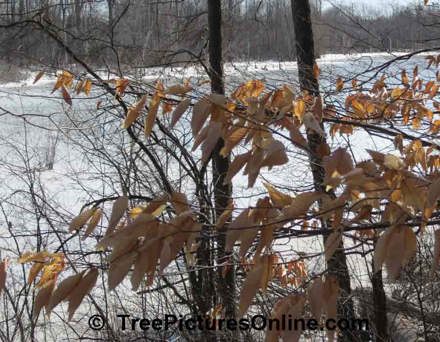 American Beech Retains Some of its Leaves in Winter