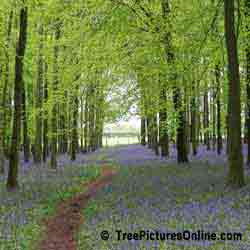 Tree Pictures: Beech Tree Forest with Spring Blue Bells, London, England | Tree:Beech @ TreePicturesOnline.com