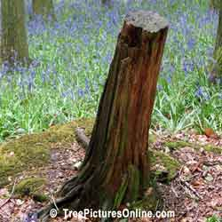 Beech Bark: Beech Tree Bark avec Blue Bell Flower