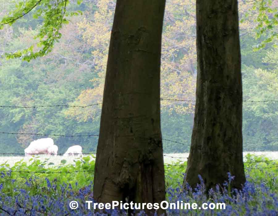 Tree Pictures, Beech Trees Photo