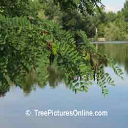 Locust Tree: Picture of Black Locust Tree Type | Tree:Locust+Black+Leaf+Seed Pods @ TreePicturesOnline.com