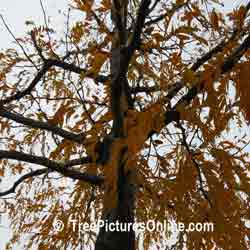 Honey Locust: Autumn Yellow Honey Locust Tree Leaves | Tree:Locust+Honey+Leaf @ TreePicturesOnline.com