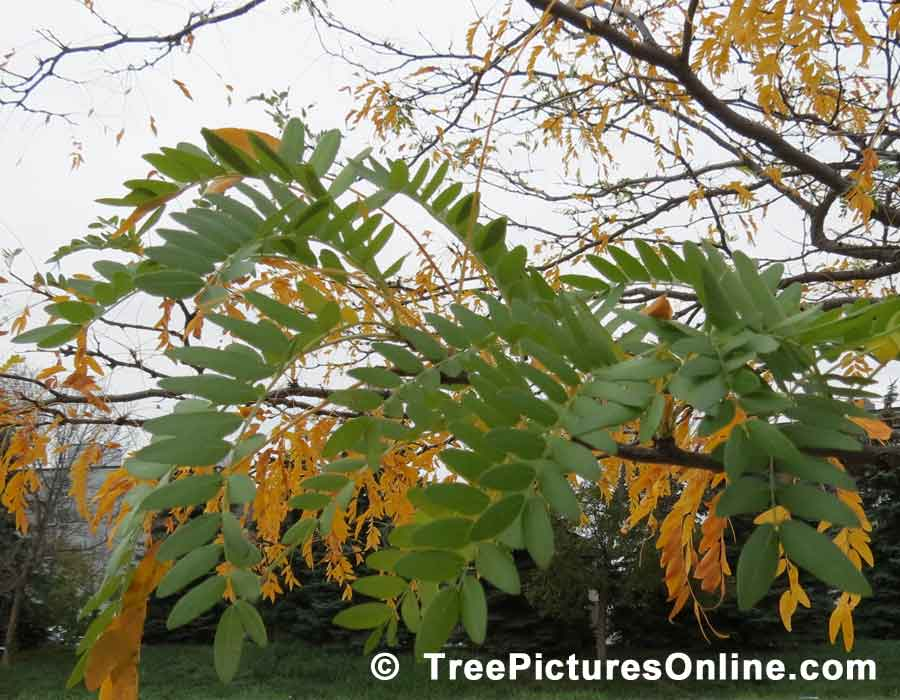Locust Tree, Honey Locust Leaves