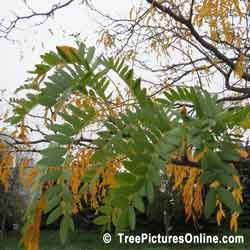 Locust Tree, Leaves, Branches of Locust Trees | Tree:Locust @ TreePicturesOnline.com