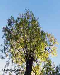 Honey Locust Tree Picture