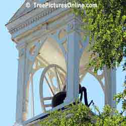 Locust Trees: Locust Tree at Church Bell Tower | Tree:Locust @ TreePicturesOnline.com