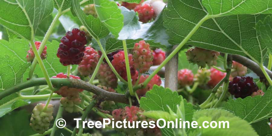 Mulberry Tree Picture: Ripening Fruit of the Weeping Mulberry Tree | TreePicturesOnline.com