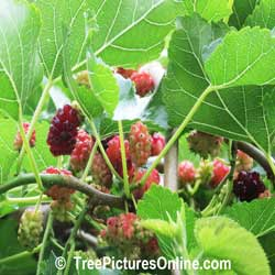 Mulberry Tree: Picture of Mulberry Tree's Fruit; Mullberries