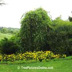 Weeping Mulberry: Landscaping with Mulberry Tree | Trees:Mulberry at TreePicturesOnline.com