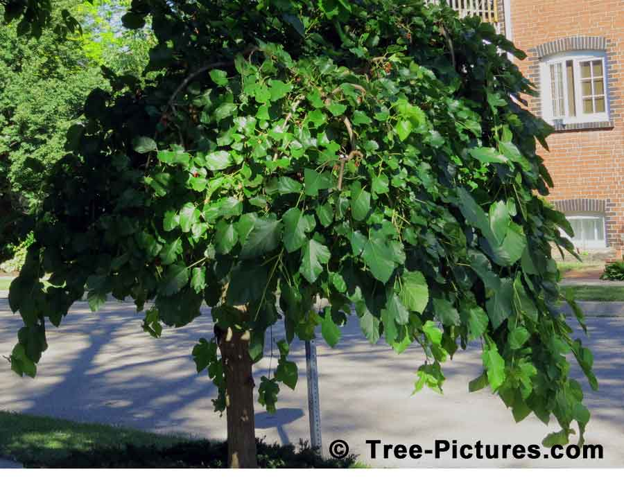 Mulberry Fruit Tree; Photo of Mulberry Tree Used as a Decorative Landscape Tree on a Corner Lot | TreePicturesOnline.com