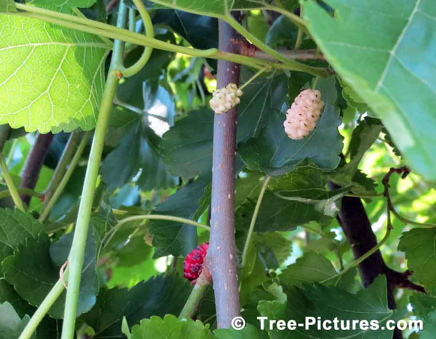 Mulberry Tree; Red & White Mulberry Fruit Ripening on the Mulberry Tree | TreePicturesOnline.com