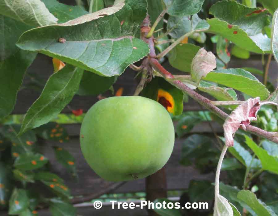 Apple Trees: Luscious Green Cortland Apple Ready For Picking