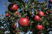 Pommes, pommes rouges Arbre Photo | Arbre + Apple + Fruit @ Tree-Pictures.com
