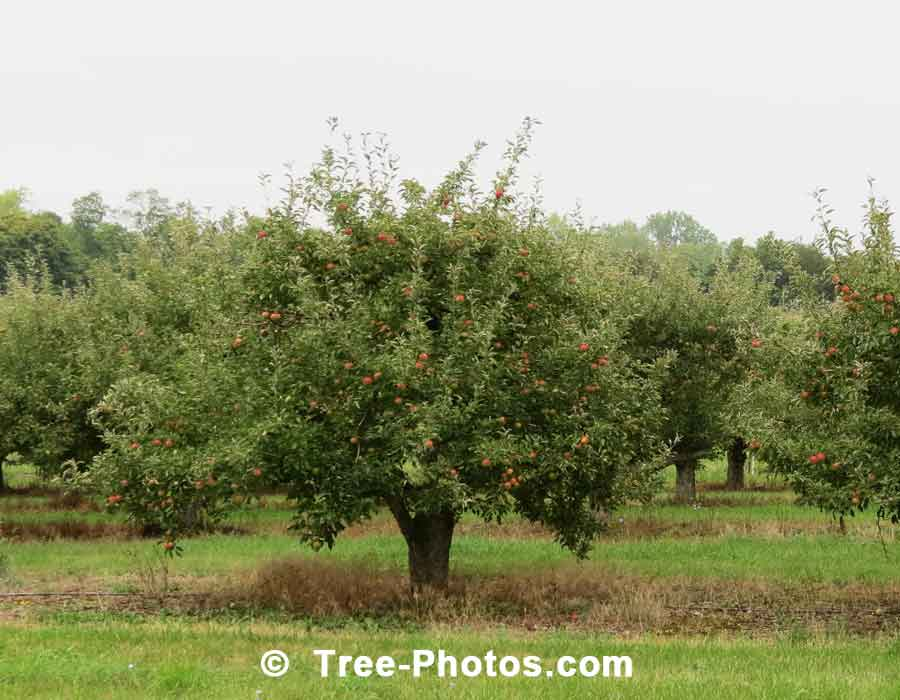 Apple Tree: Orchard of Apple Trees
