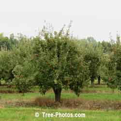 Apple Tree Images: Orchard of Apple Trees | Apple:Trees:Orchard @ TreePicturesOnline.com