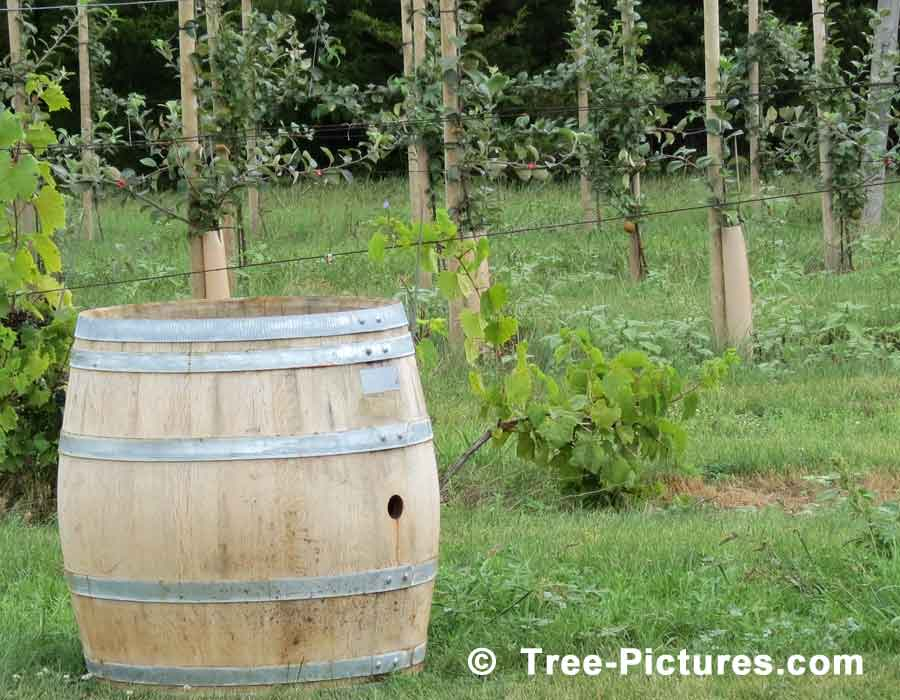 Apple Barrel & Young Apple Fruit Trees