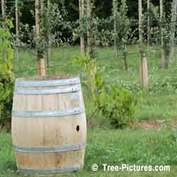 Apple Barrel & Young Apple Fruit Trees: Growing Apple Trees for Apple Cider on an Tree Farm