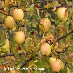 Apples: Wild Apples Growing in Urban Ravine | Apple:Tree:Fruit @ TreePicturesOnline.com